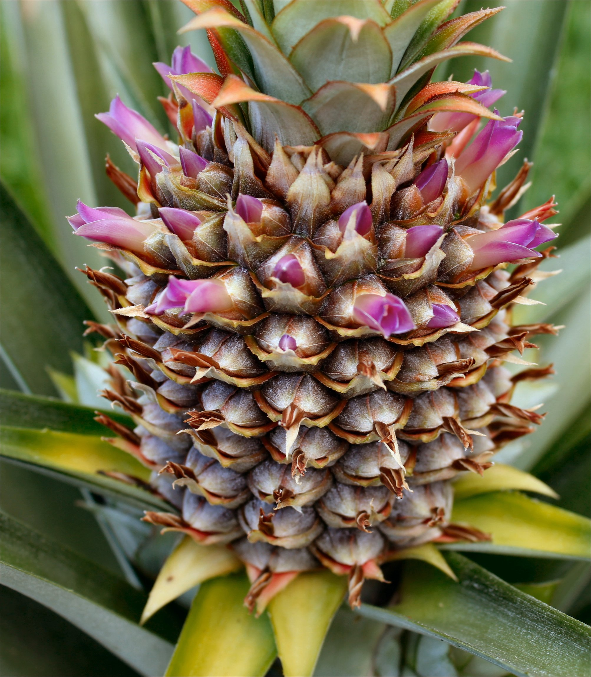 pineapple plants inside nanabread 39 s head