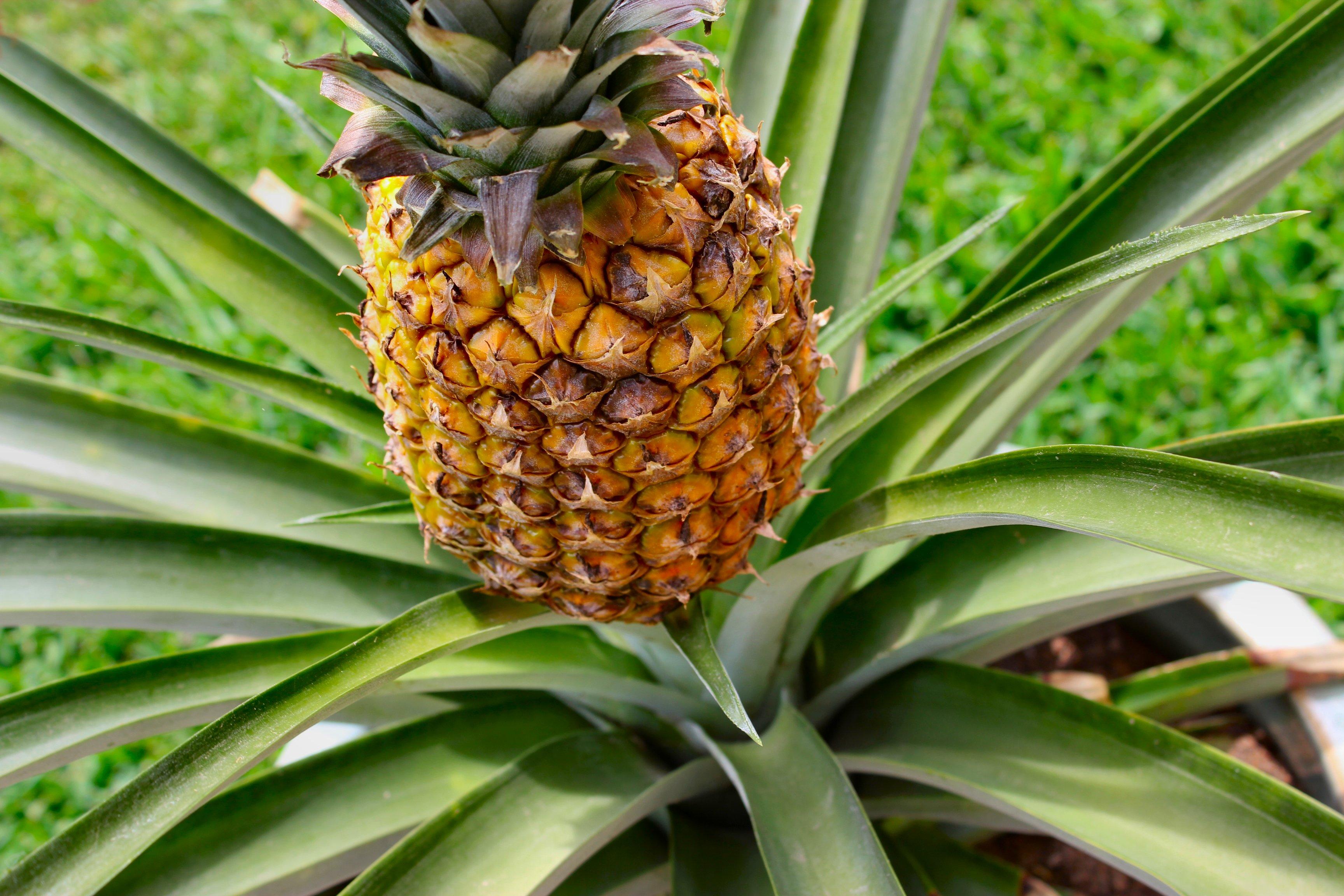 pineapple - wikipedia