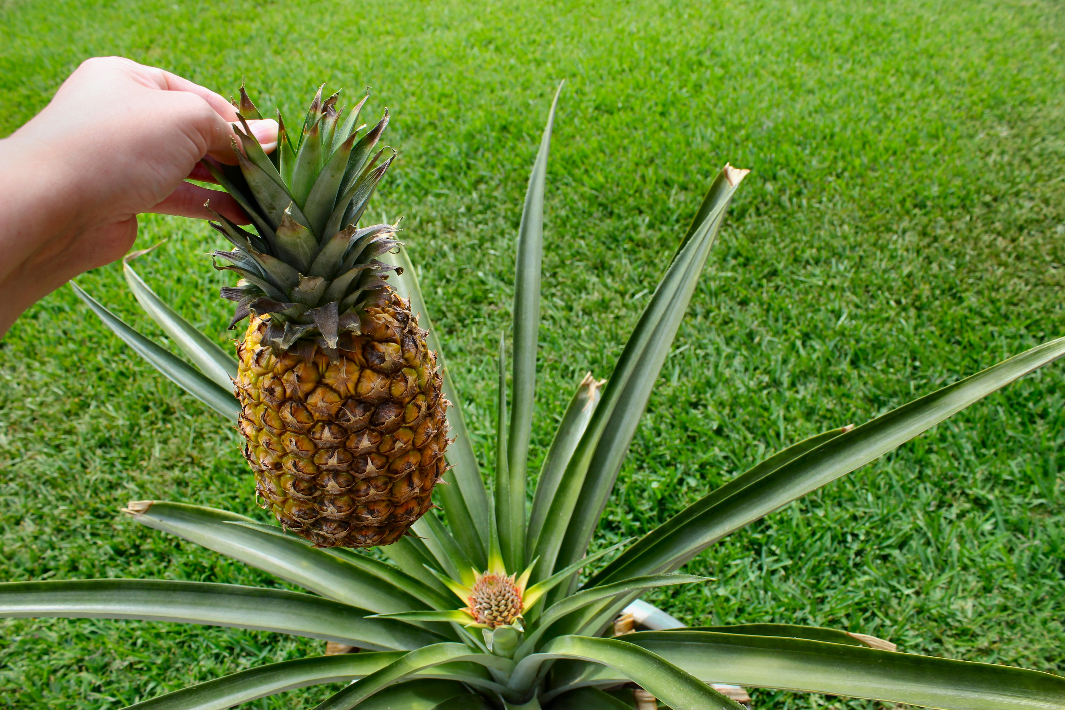 Baby pineapple update day 25 inside nanabread 39 s head for Pianta ananas
