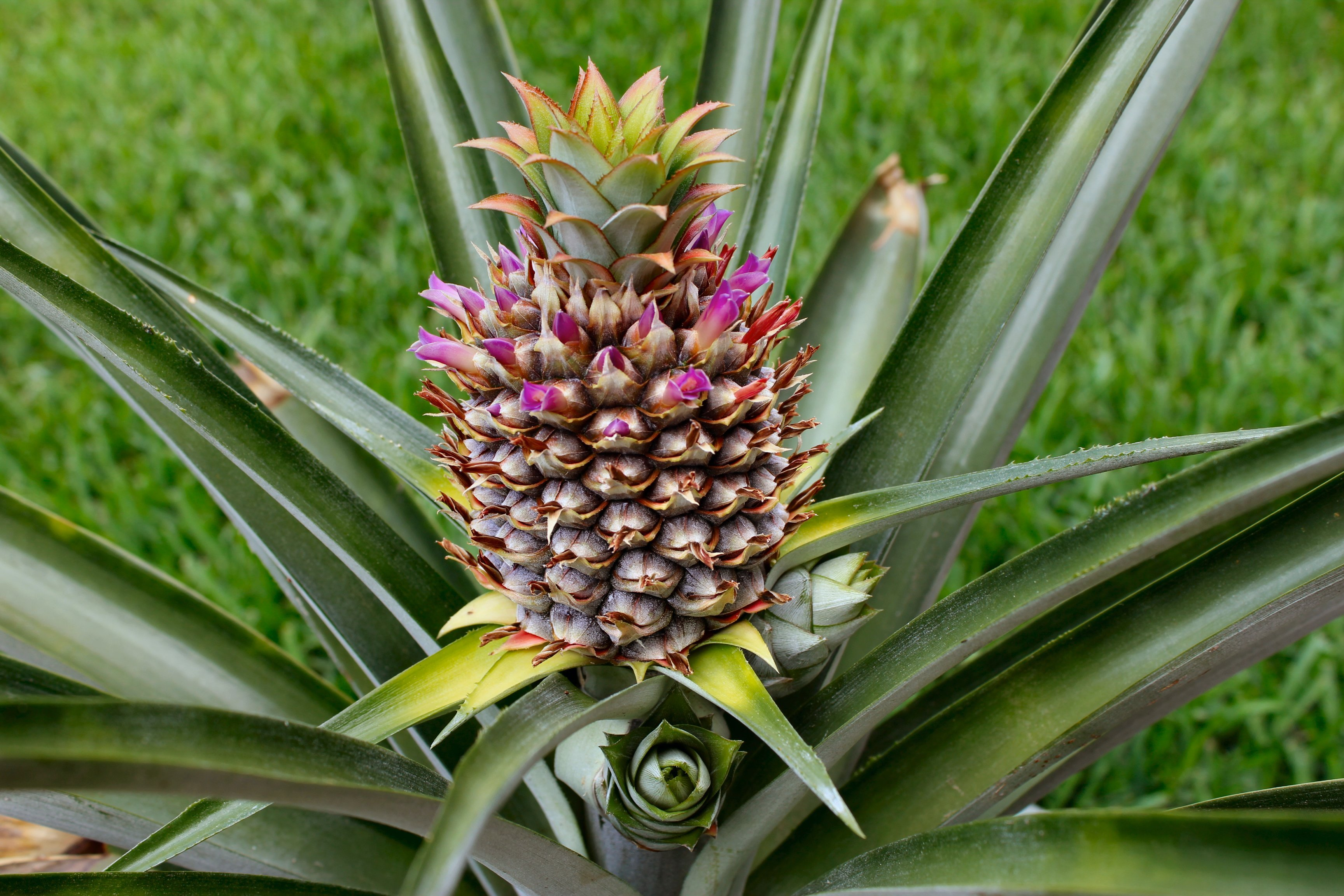 Can you plant a pineapple top inside nanabread 39 s head for Plant pineapple top