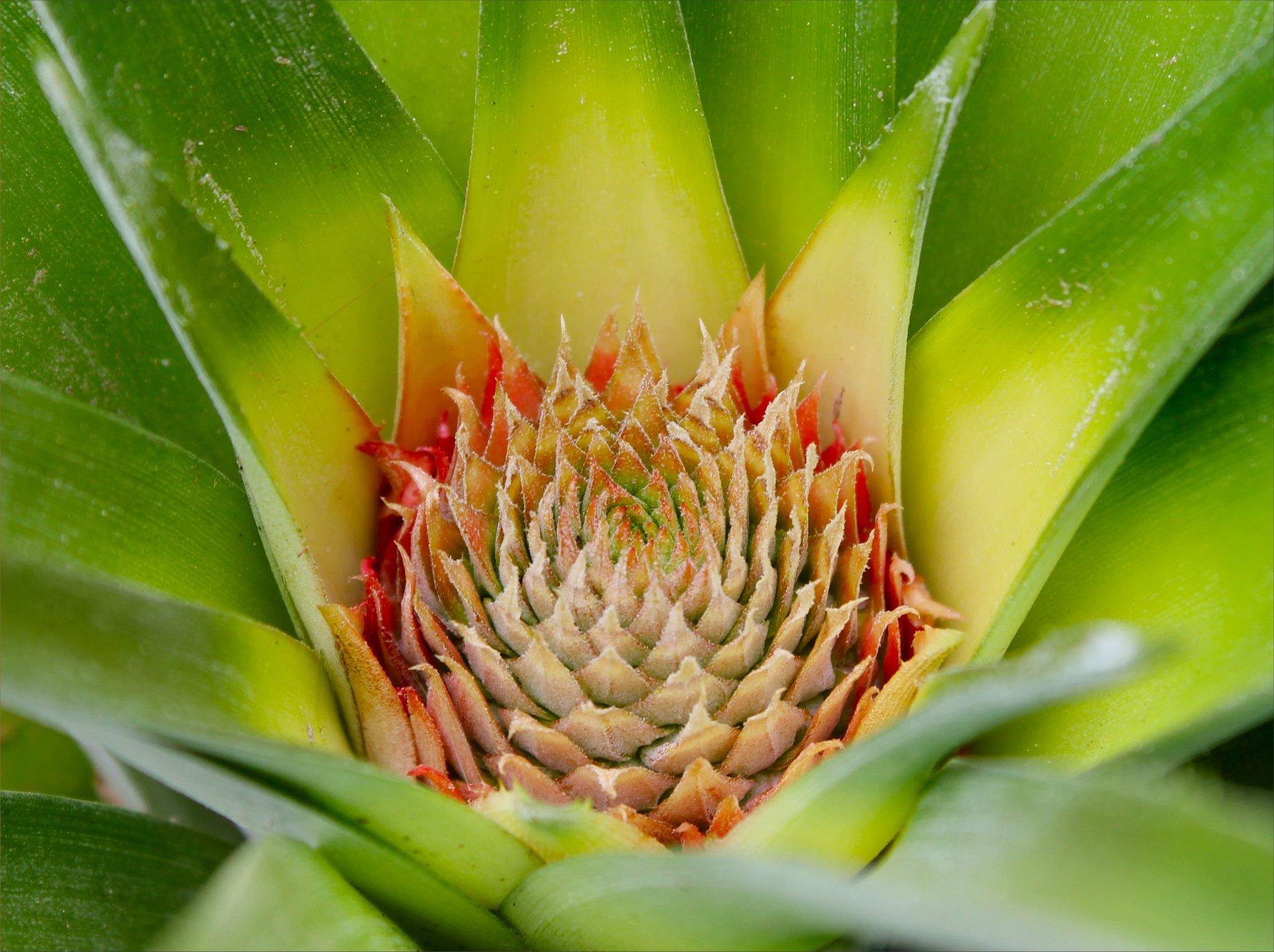 pineapple update a harvest tale inside nanabread 39 s head. Black Bedroom Furniture Sets. Home Design Ideas