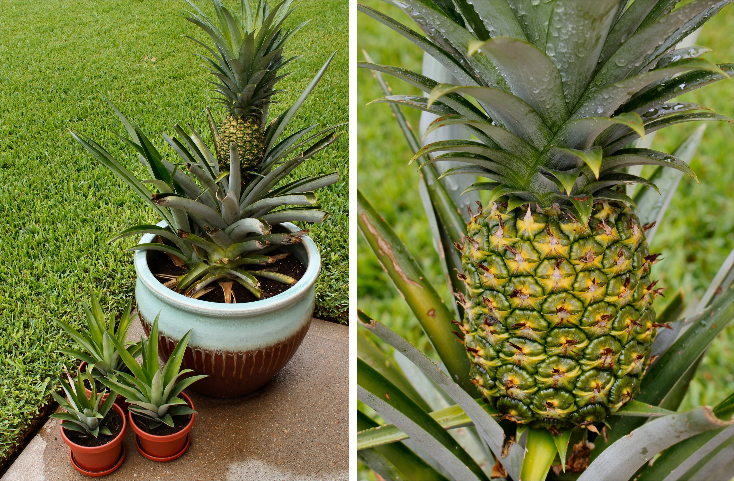 Growing Your Own Pineapples Inside Nanabread 39 S Head
