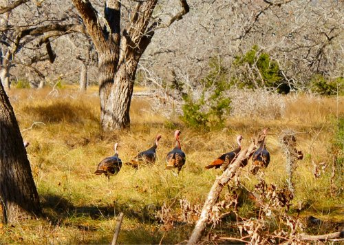 LeakeyTX - Gang of Wild Turkeys