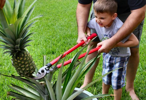 Jonah Bear puts some muscle into harvesting the pineapple.