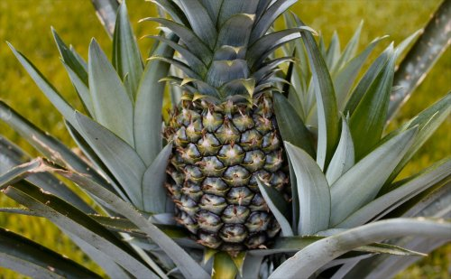 Our first ever pineapple; summer of 2012