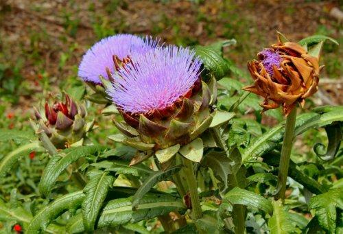 Artichoke Blooms - Springdale Farm