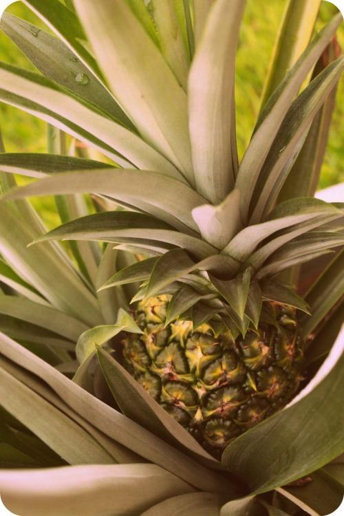 Pineapple Close-Up - Aug2013