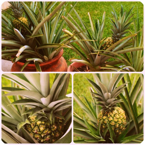 Pineapple Collage - Aug2013