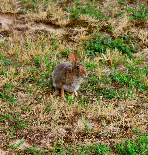 One of the many cottontail bunnies that live in Mom's yard and terrorize her attempts at gardening.