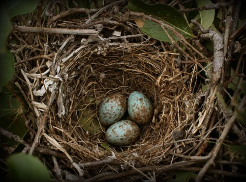 Mockingbird eggs - there were four in that nest by the time we left.