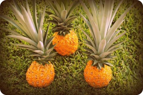 Pineapple Harvest 2