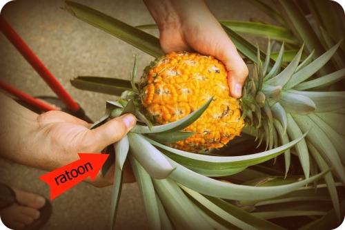 Pineapple Harvest 3