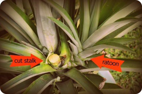 Pineapple Harvest 4