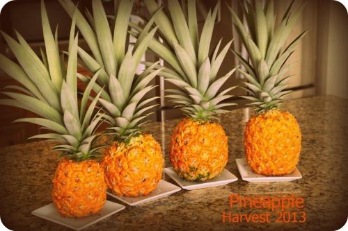 Pineapple Harvest 5