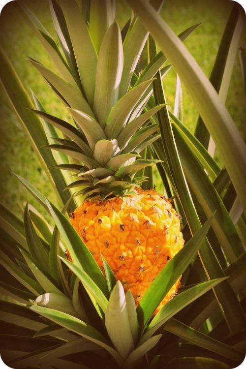 Pineapple Harvest 6