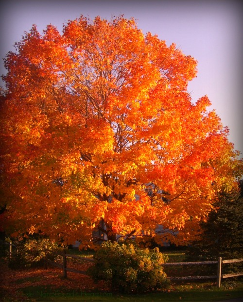 Somesville Main Tree in Fall