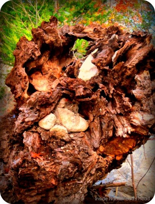 Lost Maples - Cypress Stump with Rocks