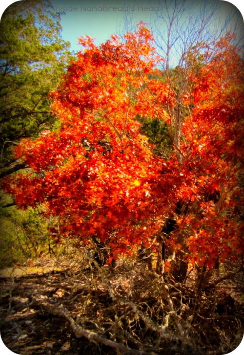 Lost Maples - Orange Maple