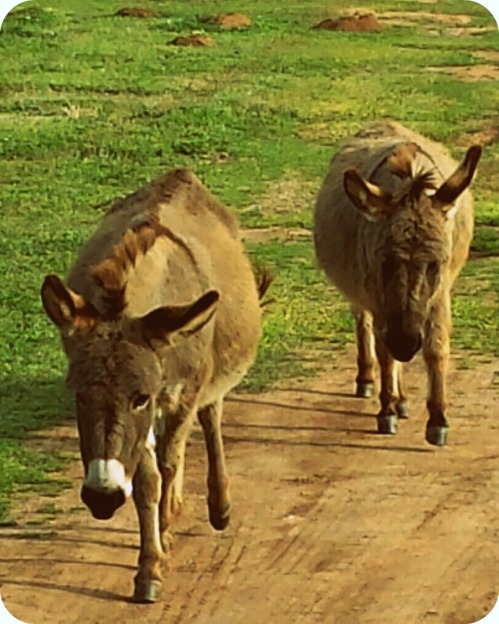 OKMHHOU - Miniature Donkeys Coming to Visit