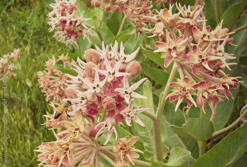 Ogden Nature Center - Bee on Wild Flowers