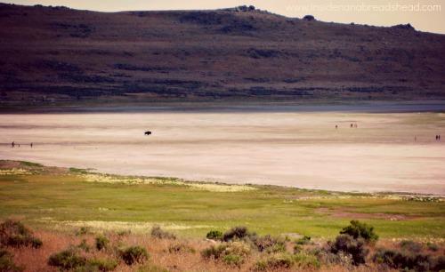 Salt Lake NP - Buffalo & Tourists