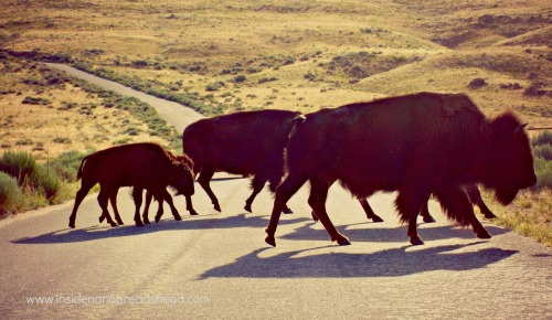 Salt Lake Park - Antelope Island bison crossing