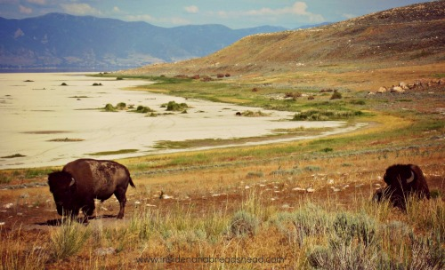 Salt Lake Park - Bison on Antelope Island