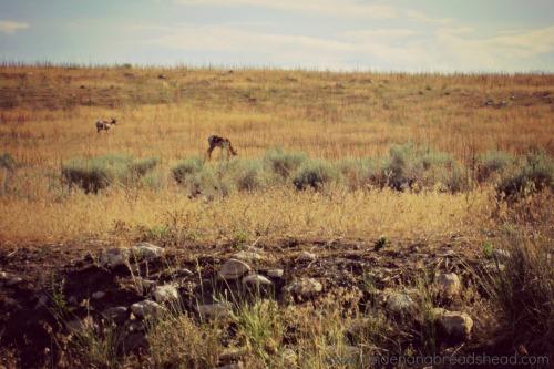 Salt Lake Park - Pronghorn on Antelope Island