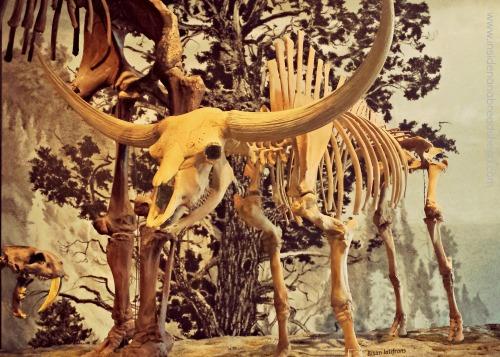SLC Nat History Museum - Ancient Bison